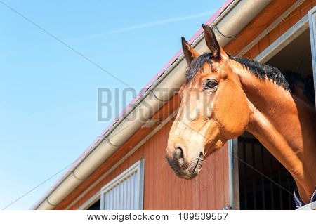 Purebred chestnut color horse portrait in window of stable. Multicolored summertime outdoors horizontal image on a blue sky background..