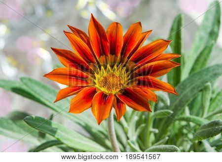 Flower plants Gazania rigens dark orange close-up