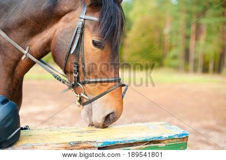 Portrait of purebred chestnut horse. Multicolored summertime outdoors horizontal image.