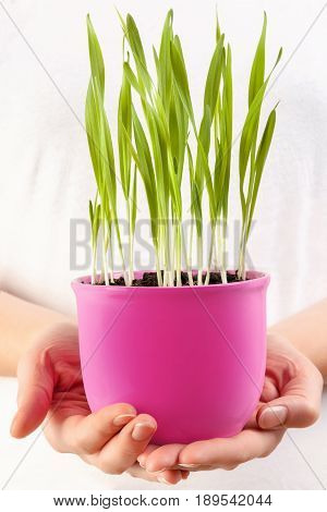 Female hands holding a flowerpot with organic barley grass. Detox and superfood.