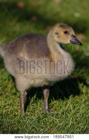Canada Goose Gosling (branta canadensis) eating a small plant