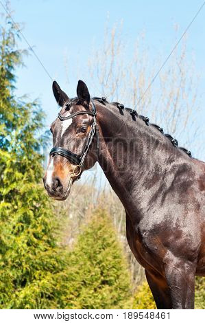 Purebred braided horse portrait. Multicolored summertime outdoors image.