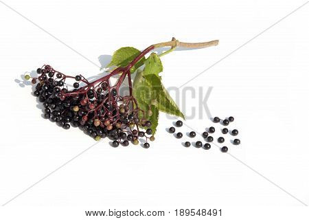 elderberry on branch isolated on a white background