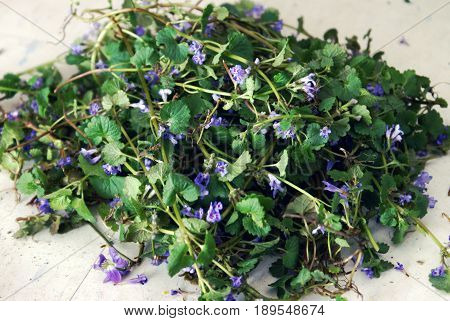 Closeup view of a freshly cultivated pile of Creeping Charlie before being dried for use in herbal medicines and extracts.