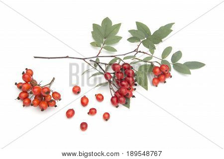a branch of Sorbus isolated on a white background