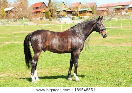 Purebred standing on pasturage stallion. Exterior image. Summertime outdoors.