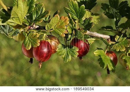 Gooseberry (Ribes uva-crispa L.) European gooseberry fruit on the bush.