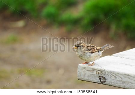 House sparrow or Passer domesticus on the edge of table in summer