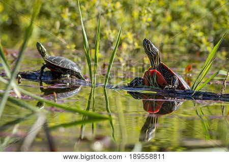Two painted turtles basking in the sun on a log in Twin Lakes Idahi.