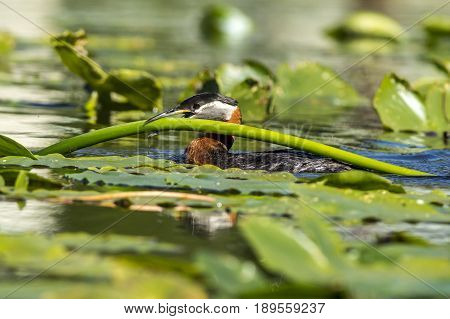 A red necked Grebe carries a lily pad in its beak to its nest.