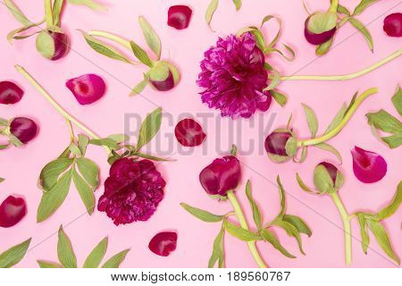 Arangment of the purple peonies on pink background