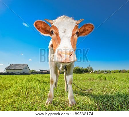 The portrait of cow on the background of green field. Funny cow on cow farm. Young red and white spotted calf staring at the camera. Curious, amusing cow with funny big snout and natural background