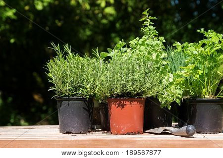 Potted kitchen herbs such as rosemary thyme parsley and chives on a wooden board in the sunny garden for fresh and healthy cooking selected focus