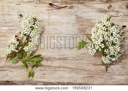 Two branches of white colors on an old board. Flowers of a white spirea are lit with the sun. Close up top view