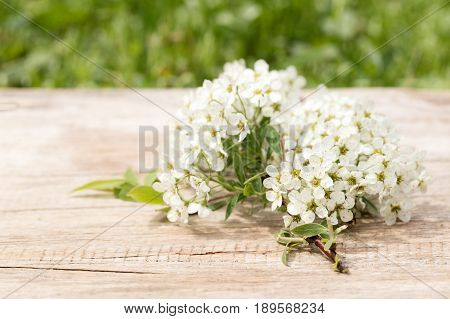 Branch of white colors on an old board. Flowers of a white spirea are lit with the sun on a background a green grass. Close up selective focus