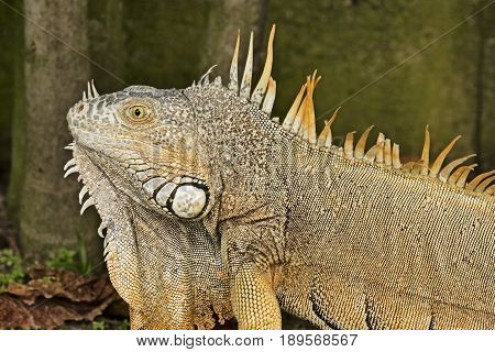 A wild male American Iguana in Mexico shows the heavier jowls and longer spikes on the crest that are typical.