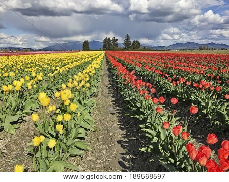 A farm in Skagit Valley with acres of yellow and red tulips in full blossom during the annual Skagit Valley tulip festival in the spring.