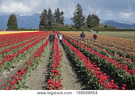A group of farmworkers walk through the rows of a field of tulips during the annual Skagit Valley tulip festival.