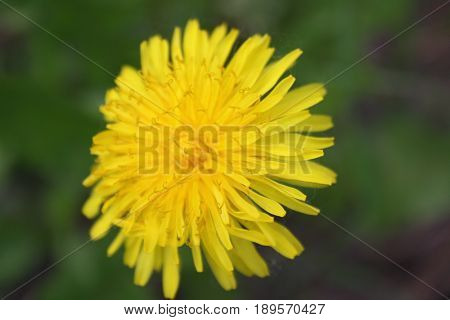 Closeup Of The Blooming Yellow Dandelion Flower.