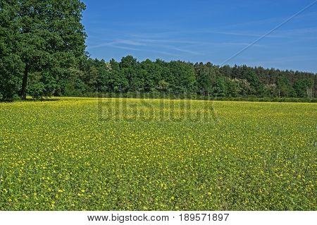 On the photo you can see a field planted with mustard. It is spring, mustard blooms, yellow flowers are on the stems. The sky is cloudless, the sun is shining.