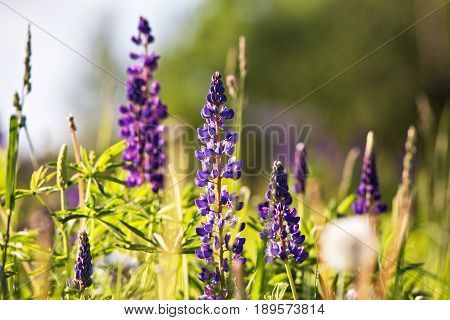 Fresh Lupine Close-up Blooming In Spring. Purple Lupine Flowers