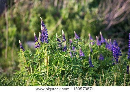Fresh Lupine Close Up Blooming In Spring.
