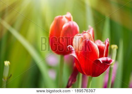 Colorful spring red tulip flowers with sunlight.