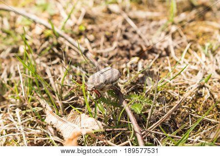 May Spring Beetle Crawling On Green Grass Macro.