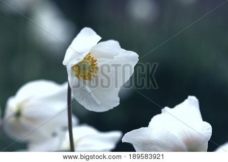 Beautiful Anemone At The Garden