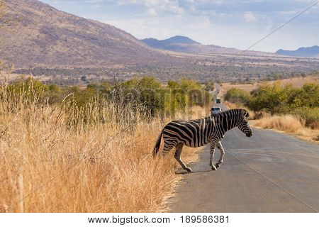 Zebra Cross The Road From South Africa, Pilanesberg National Park