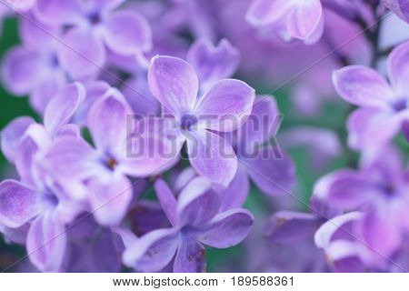 Natural Background With Lilac Flowers