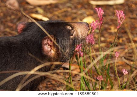 A portrait of a Tasmanian Devil stopping to smell the flowers.