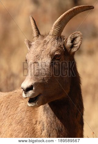 A portrait of a young Bighorn Sheep with part of face cast in shadow.