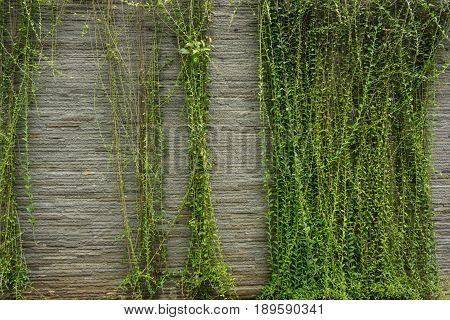 Green vines hanging on rock textured wall photo taken in Jakarta Indonesia java