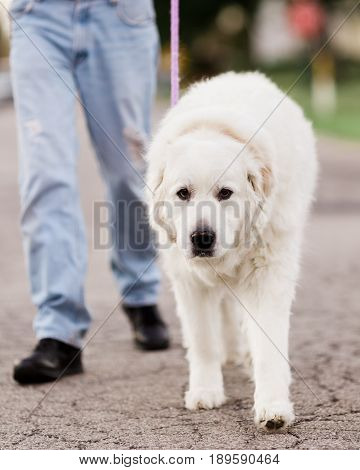 A Great Pyrenees dog walking on a loose leash with his owner down the street.