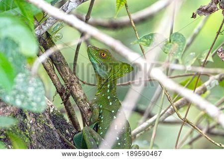 Basilisk Lizard in the Foliage of Tortuguero National Park in Costa Rica