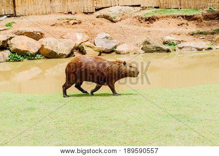 ig Capybara (hydrochoerus hydrochaeris) in the zoo