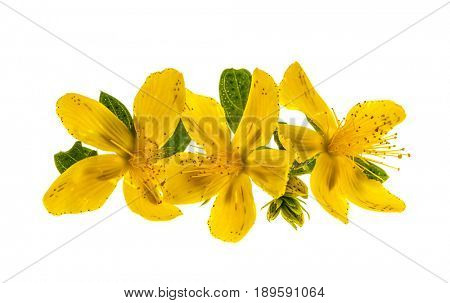 Yellow flowers of medicinal plant St. John's Wort close up with leaves isolated on white background