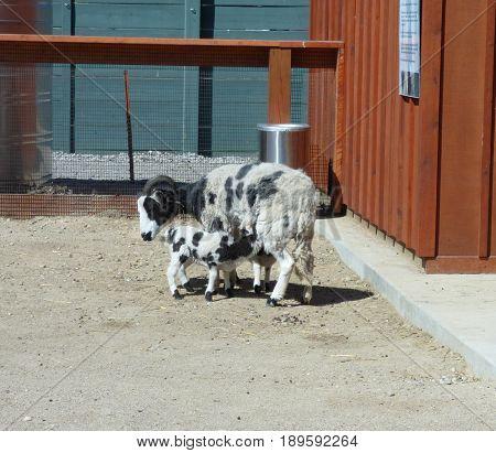 A  Jacob sheep with a nursing lamb.