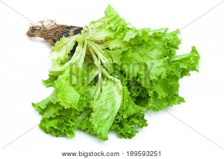 lettuce with the root on a white background