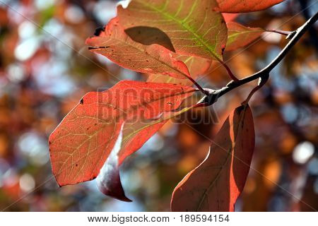 Autumn leaves on tree. Autumn fall background. Autumn Early autumn Forest Grove Leaves Leaves of the trees Rays of sunlight Sunlight Sunlight in the branches Tree Leaf Trees.