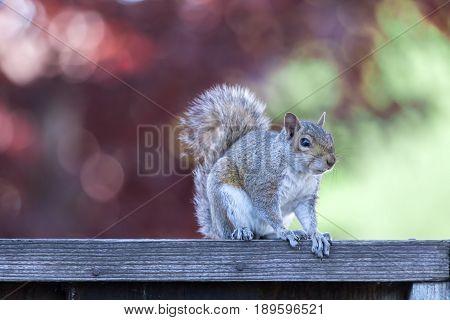 Eastern Gray Squirrel (sciurus carolinensis) posing on backyard fence with late afternoon natural lights. Santa Clara County, California, USA.