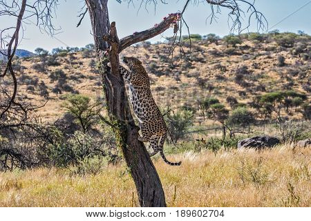 Savannah in Namibia. An African spotted leopard climbed a tree. The pieces of meat for him are laid out on the branches. Leopard feeding. The concept of ecological tourism