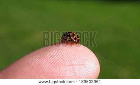 Ladybird ladybug sits on the tip of a human finger tiny orange spotted lady bird