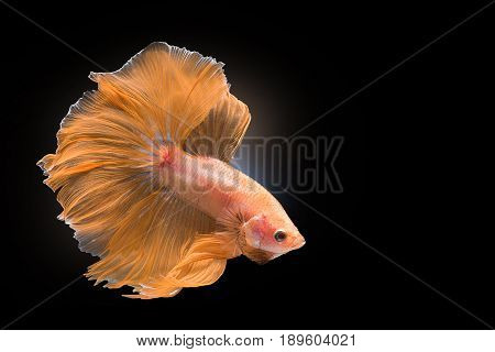 Capture the moving moment of yellow siamese fighting fish isolated on black background. Dumbo betta fish