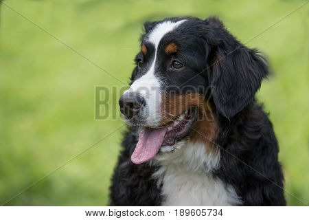A young beautiful Bernese mountain dog standing on the lawn while sticking its tongue out and looking happy and playful.