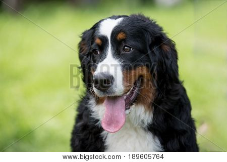 A young beautiful Bernese mountain dog standing on the lawn while sticking its tongue out and looking happy and playful