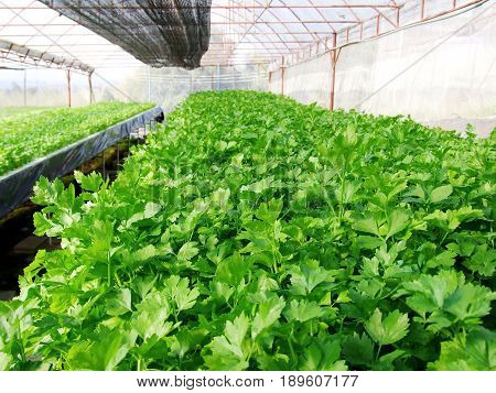 Agribusiness or food concept : Green coriander hydroponic vegetable farm