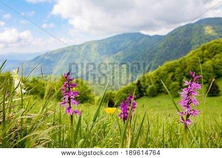 Early-purple Orchid On Spring Mountain Meadow