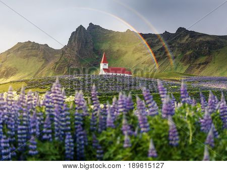 Church on a hill in the Vik town. Famous and popular tourist attraction of Iceland. Glade of lupine flowers. Beautiful rainbow